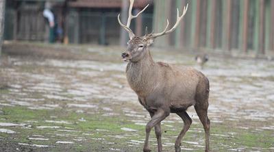 Eskişehir'de 18 geyik ihale ile öldürülecek
