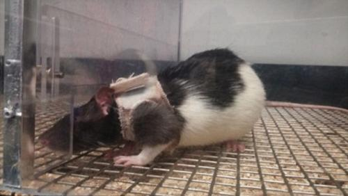 Farelere keyfi işkence: farelere sutyen taktılar!