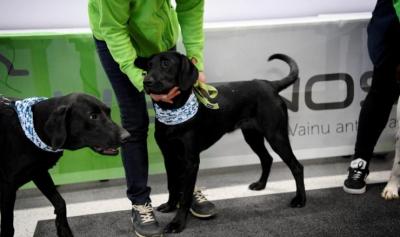 Finlandiya'da köpekler yolculara koronavirüs testi yapıyor