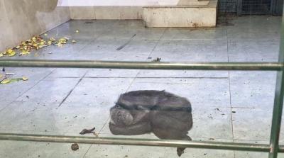 Gaziantep'te şempanzenin fayans üzerinde yatması tepki gördü