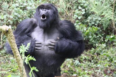 Goriller, göğüslerini yumruklayarak vücut büyüklüklerini gösteriyormuş