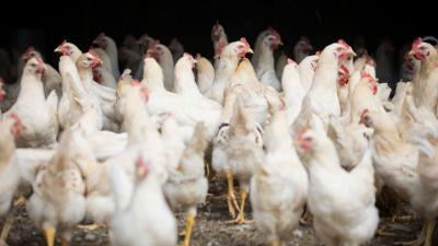 Hayvan öldürülmeden üretilen kültür eti, dünyadaki ilk satış onayını aldı