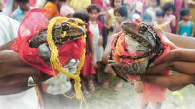 Hindistan'da çiftçiler, 'yağışların artması için' kurbağaları evlendiriyor