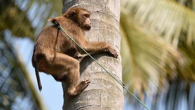 Hindistan'da eve girip bebeği kaçıran maymun aranıyor