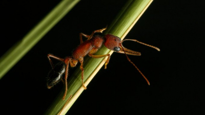 Hint zıplayan karıncanın beynini büyütüp küçültebildiği ortaya çıktı