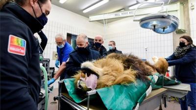 Hollanda'da hayvanat hapishanesinde beş yavrusu olan aslan kısırlaştırıldı