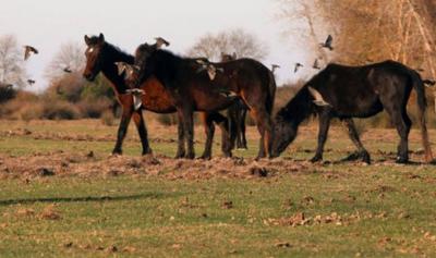 'İBB'nin Dörtyol Belediyesi'ne verdiği atlar kesilip kıyma-kuşbaşı oldu'