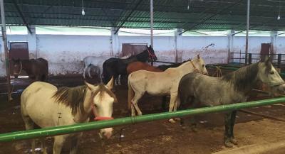İBB'nin MHP'li belediyeye verdiği 50 at kayboldu