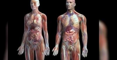 İnsan vücudunda interstitiyum adı verilen yeni bir organ keşfedildi