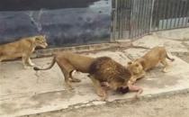 İntihar etmek isteyen insan, aslanların ölümüne neden oldu!