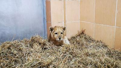 İzmir'de bir çiftlikte 3 yavru aslan bulundu
