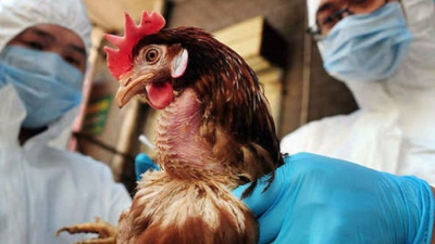 Japonya'da kuş gribi salgını: 5.8 milyon tavuk katledildi!
