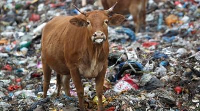 Karnından 71 kilogram çöp ve çivi çıkan hamile inek hayatını kaybetti