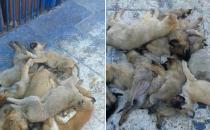 Kayseri Belediyesi, köpek katliamını FETÖ'ye bağladı!