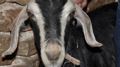 Keçiye tecavüz ederken yakalandı, 700 liraya satın alıp 'konuyu kapatmak' istedi!