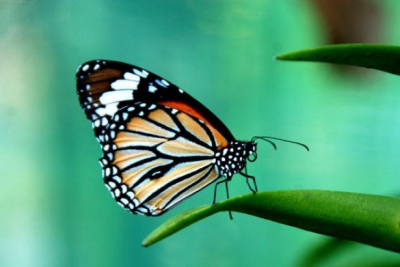 Kelebek sayısı gittikçe azalıyor
