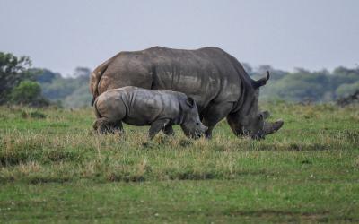 Kenya'da kaçak avcılığa ölüm cezası geliyor