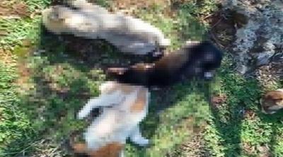 Kepez'de 12 köpek zehirlenerek öldürüldü