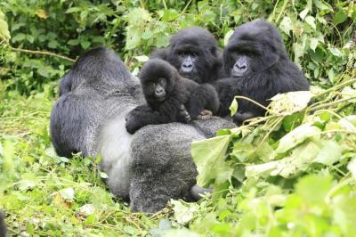 Kongo Demokratik Cumhuriyeti'nde 6 goril koruyucusu öldürüldü