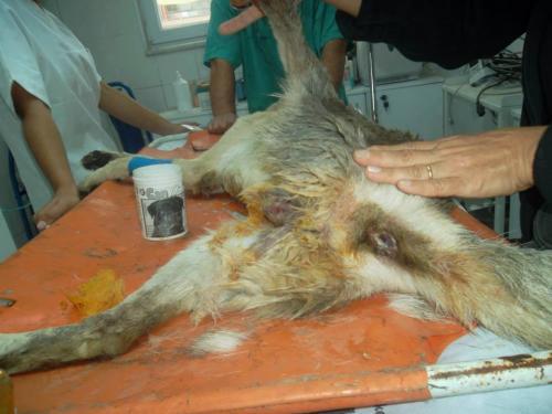 Tecavüz edilen köpek öldü!