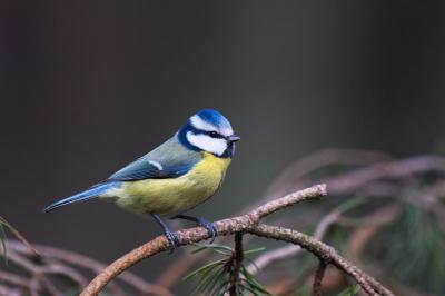 Kuşların kanı soğuk havalarda 'merkezi ısıtma sistemi' görevi görüyor