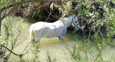 Manisa'da atları bağlayıp çay yatağında ölüme terk ettiler