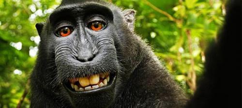 Maymunun çektiği selfie kavga başlattı!