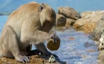 Maymun ve şempanzeler taş devrini mi yaşıyor?