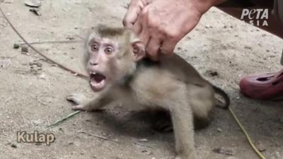 Maymunlara işkence: Zincirlenip hindistan cevizi toplamada kullanılıyorlar
