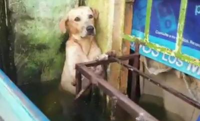 Meksika'da bir köpek selden kurtarıldı