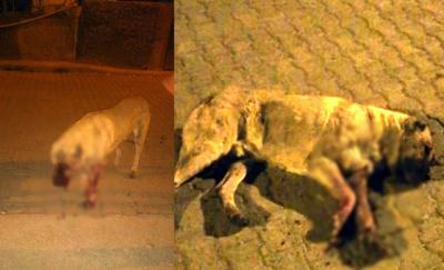 Mersin'de köpeğin gözlerini oyup sopayla dövdüler!