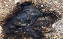 'Mersin'de köylüler köpekleri yavrularının gözü önünde yaktı'