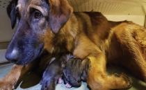 Metroda 9 köpek dünyaya geldi!