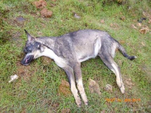 Antalya'da 70 köpek katledildi!