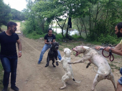 Orman ve Su İşleri Bakanlığı'na göre bu fotoğrafta hayvanlar dövüştürülmüyor!