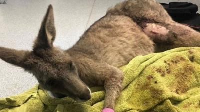 Panikleyen kanguru gece yarısı camı kırarak eve girdi