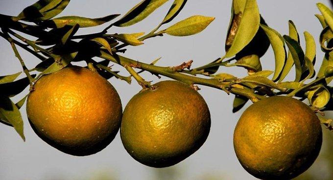 Rusya, Türkiye'den giden 25 ton mandalinayı geri çevirdi