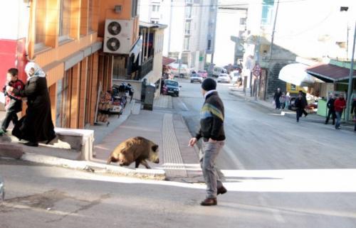 Katil Samsun halkı, şehre inen domuzu linç etti!