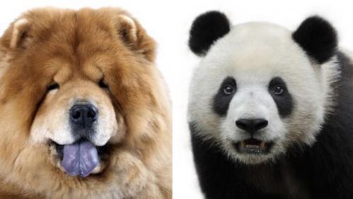 Sirkte köpekleri panda gibi boyadılar!