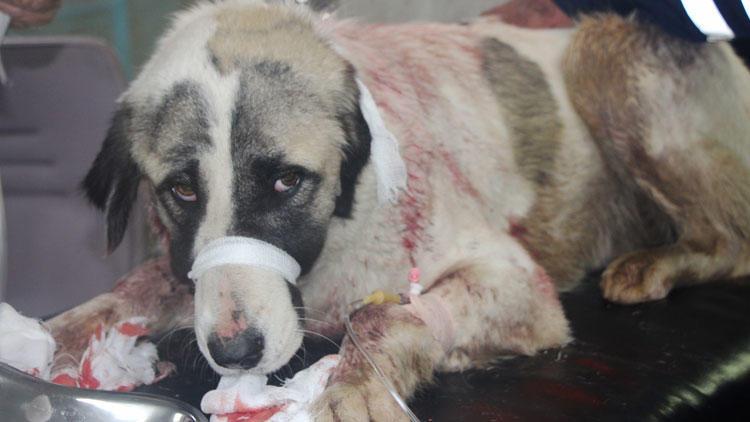 Sokakta yaşam savaşı veren köpeği bıçakladılar