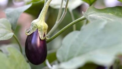 Tek bir patlıcan çalmakla suçlanan kişi 9 yıl sonra aklandı