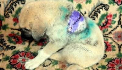 Tekirdağ'da 2 aylık yavru köpek sırtından bıçaklandı, 22 dikiş atıldı!