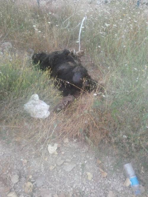 Tokat Barınağı'nda köpekler ölüyor!