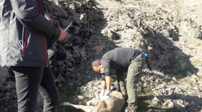 Tunceli'de nesli tükenmekte olan 8 yaban keçisi ölü bulundu