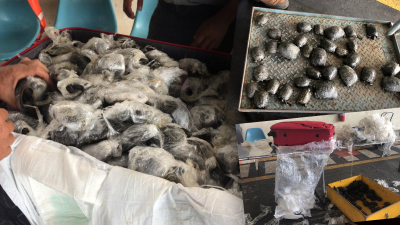Valizden plastiğe sarılı 185 kaplumbağa çıktı: 10 ölü