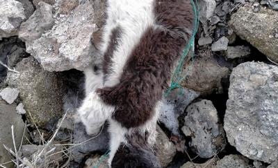 Van'da işkence edilerek öldürülmüş 70'e yakın köpek bulundu!