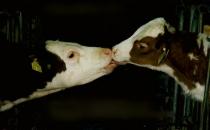 Vegan beslenen biri, 4 bin litre su, 20 kilo tahıl ve bir hayvanı kurtarıyor!