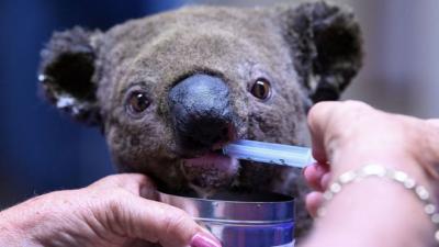 Yangından kurtarılma videosunu milyonların izlediği koala Lewis öldürüldü
