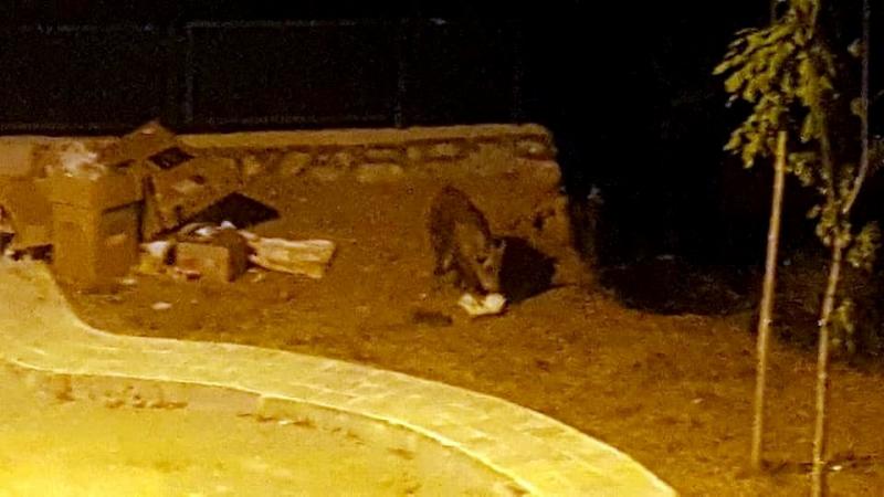Yaşam alanlarına bina dikilen domuzlar, sitede yemek aradı