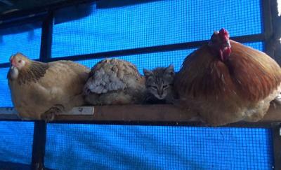 Yavru kedi, horoz ve tavuklarla birlikte kümeste yaşıyor